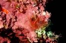Lithophyllum lichenoides