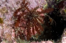 Gracilaria curtissae