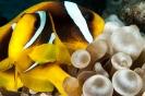 Entacmaea quadricolor