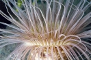 Pachycerianthus fimbriatus
