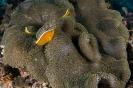 Stichodactyla haddoni