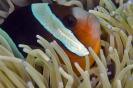 anemonfish_1