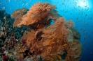 Melithaea ochrcea (Gorgonian coral)