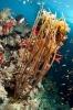 Ellisella ceratophyta (Gorgonian coral)