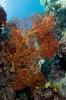 Melithaea ochrcea