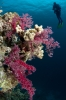 soft corals_2
