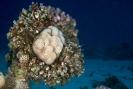 stony coral_1