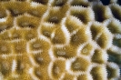 Stony Corals_10