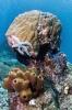 Stony Corals_14