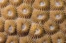 Stony Corals