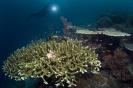 stony corals_1