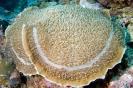 Stony Corals_26