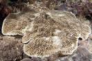 Stony Corals_29