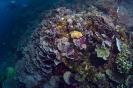 stony corals_2