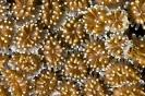 Stony Corals_33