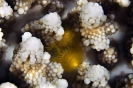 Stony Corals_35