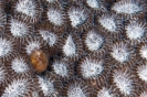 stony corals_3