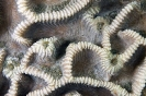 Stony Corals_49