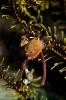 Herbstia condyliata