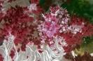 Hoplophrys oatesii