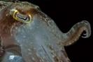 Needle cuttlefish