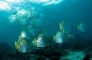 Angelfishes & Batfishes