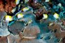 Hemitaurichthys polylepis