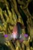 Fairy Basslets