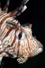 Lionfishes & Flatheads