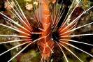 Lionfishes & Flatheads
