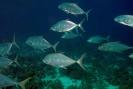 Mackarels, Tunas & Travellies