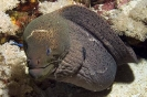 Morays and Eels