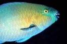 Parrotfishes