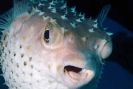 Pufferfishes & Boxfishes