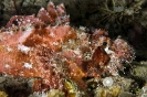Scorpionfishes & Stonefishes