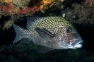 Snappers, Sweetlips & Fusiliers