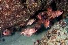 Squirrelfishes & Soldierfishes