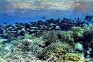 Surgeonfishes