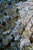 Trompetfishes & Seamoths