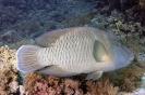 Cheilinus undulatus (Napoleonfish)