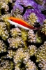 Wrasses & Hawkfishes