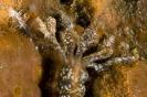 Synapta maculata