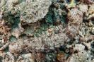 Pearsonthuria graeffei