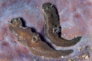 Glossodoris stellatus