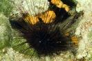 Centrostephanus longispinus