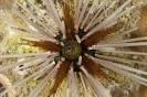 Echinothrix calamaris