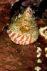 Trochus maculatus