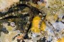 Ophioderma longicauda