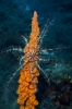 Antedon mediterranea