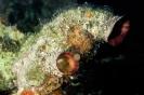 Polycarpa spongiabilis